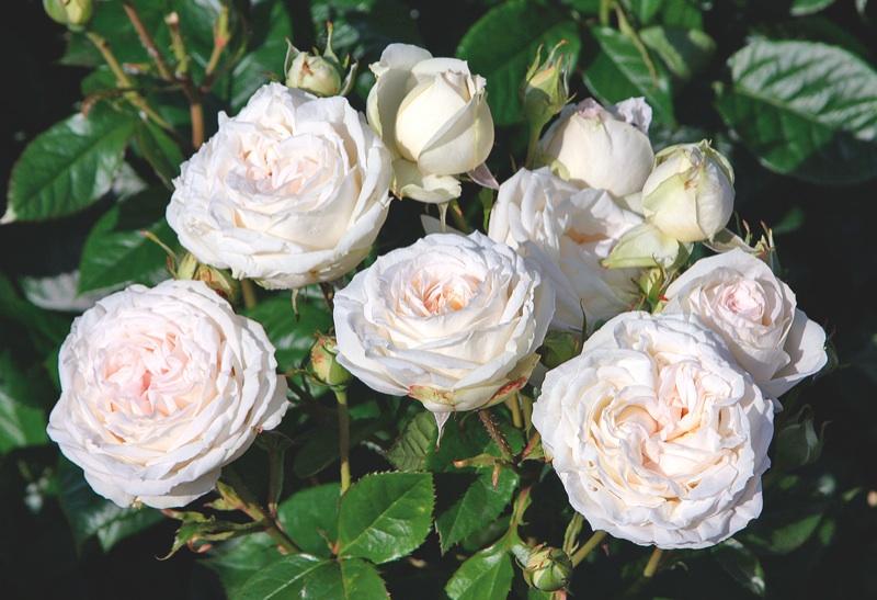 adr zeichnet rosensorten mit qualit tspr dikat 2014 aus nur sechs rosenneuheiten bestehen den. Black Bedroom Furniture Sets. Home Design Ideas